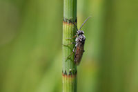 Unknown Sawfly