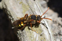 Marsham's Nomad Bee