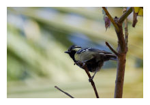 Black-lored Tit