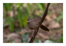 Jungle Babbler
