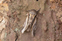 2007 Swallow Prominent